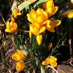 crocuses captured this week by PA IPL member Amy Ward Brimmer